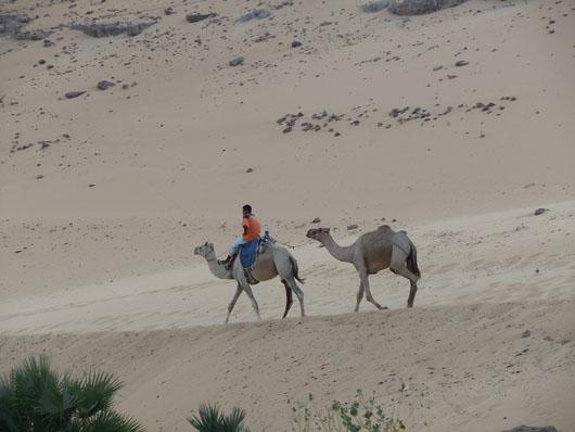 Camels - Aswan, Egypt