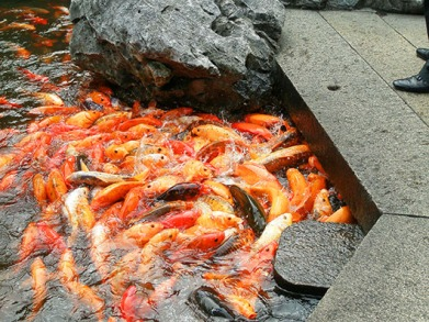 Koi pond, Yu Yuan Garden - Shanghai, China