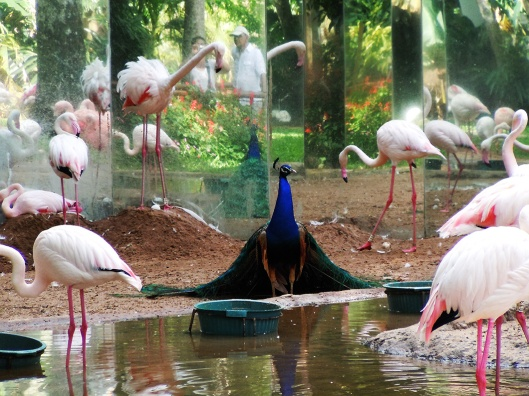 A myriad reflections of the supercillios peacock, the flamingoes and us!!