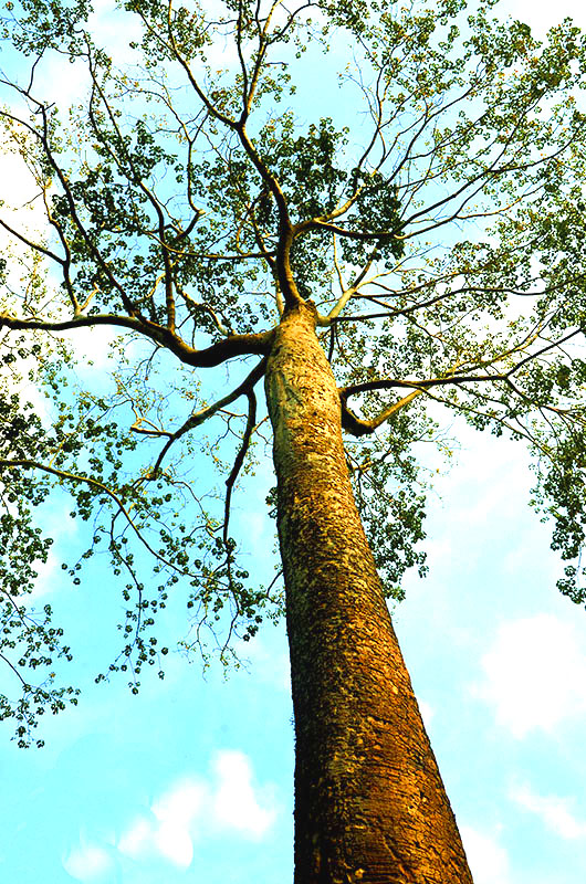 Kapok tree, Ta Phrom
