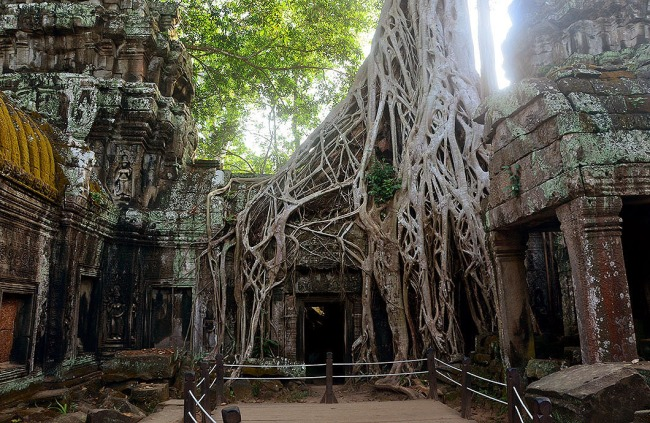 Ta Phrom covered with roots