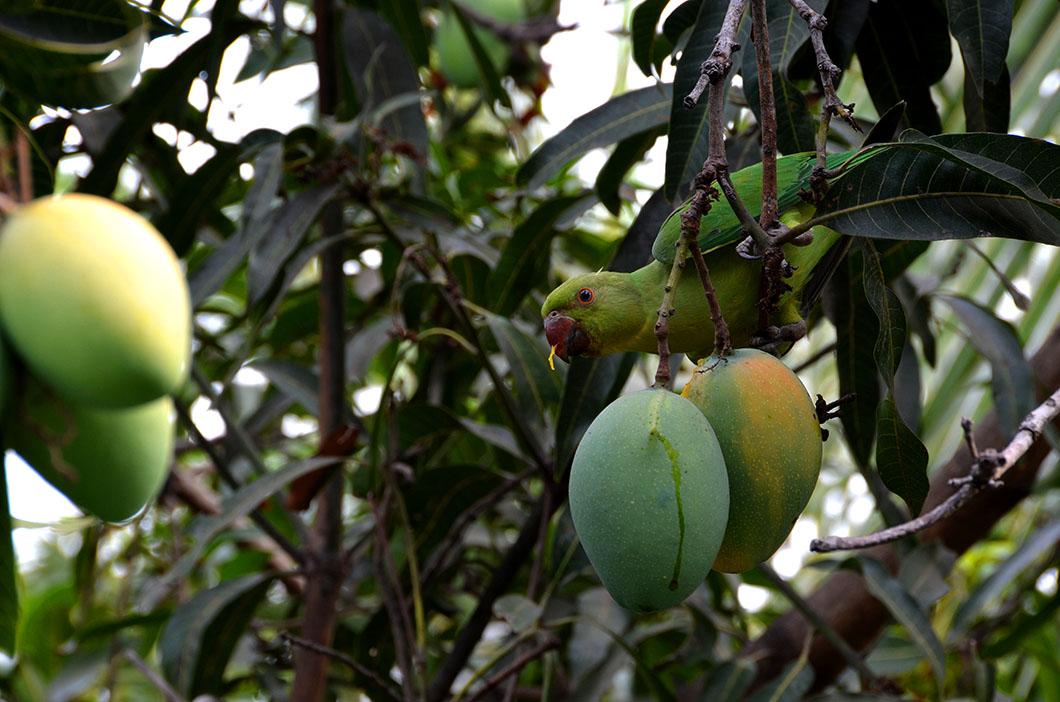 Parrot & mango