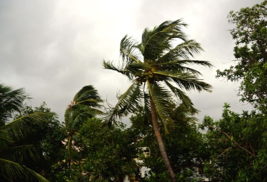 Wind bashed palm trees - Chennai, India