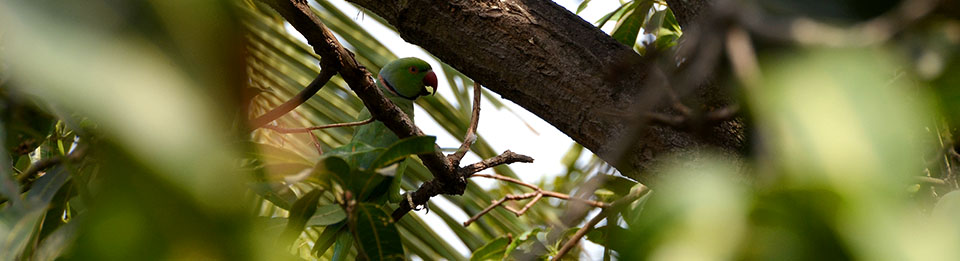 Parrot in a mango tree