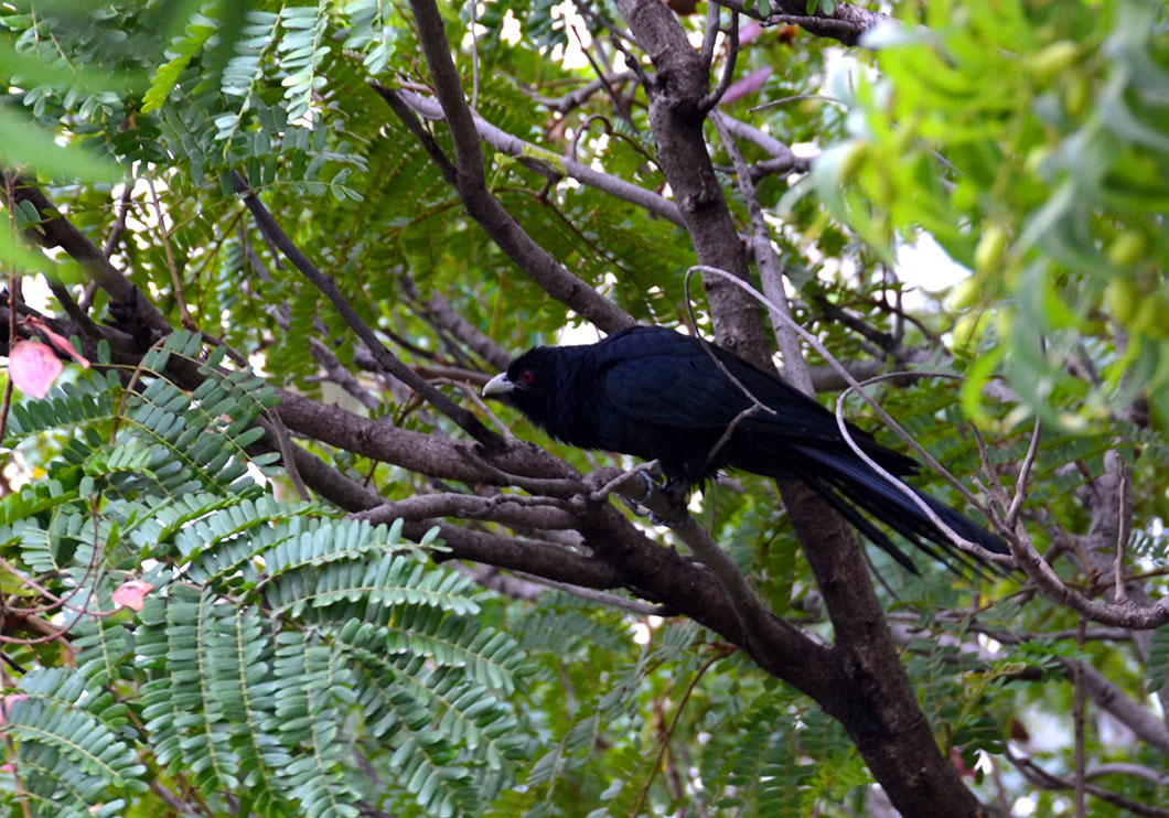 Male Asian Koel