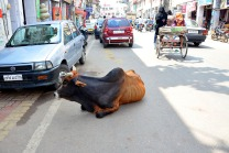 Cow Lucknow