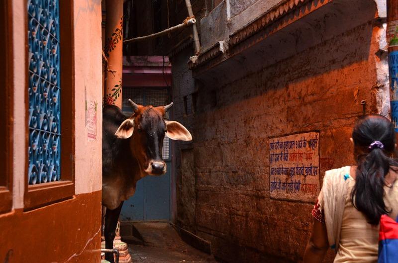 Cow - Varanasi, India