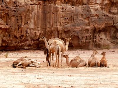 Camels - Wadi Rum, Jordan