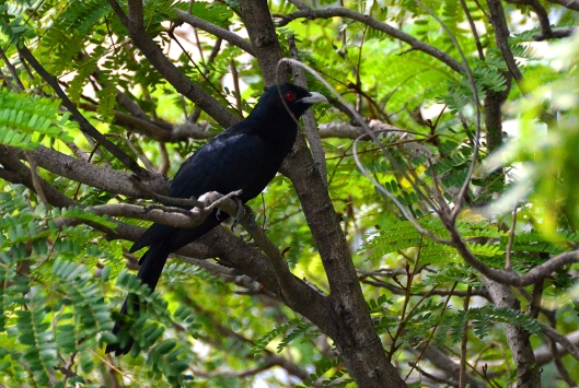 Male Indian Koel - Chennai, India