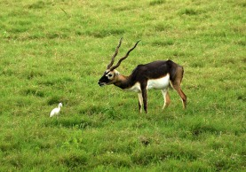 Black Buck - Sikandra