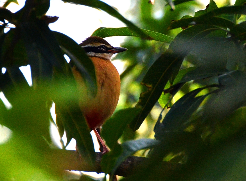 Orange-breasted Nuthatch - Chennai, India