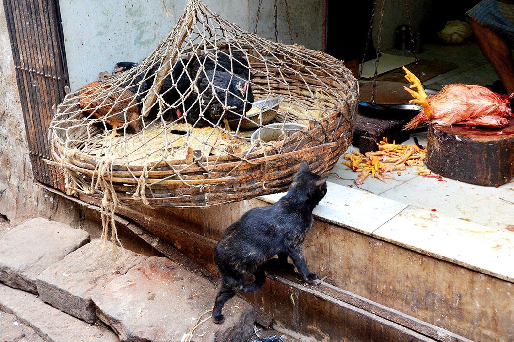 Cat in a chicken shop, Kolkata