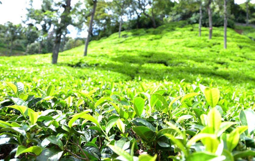 Tea gardens in Coonoor