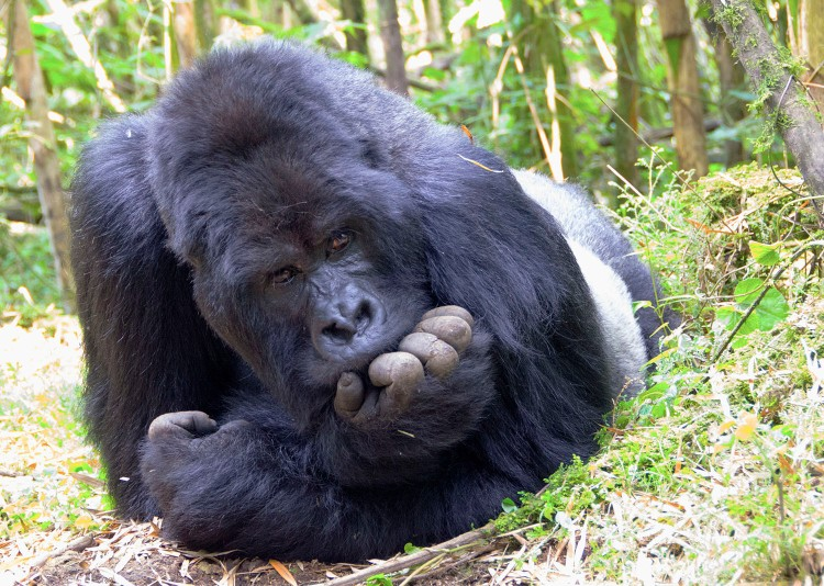 Guhonda, the largest gorilla on the planet, lying on his stomach with face resting on hand and staring straight at the camera!