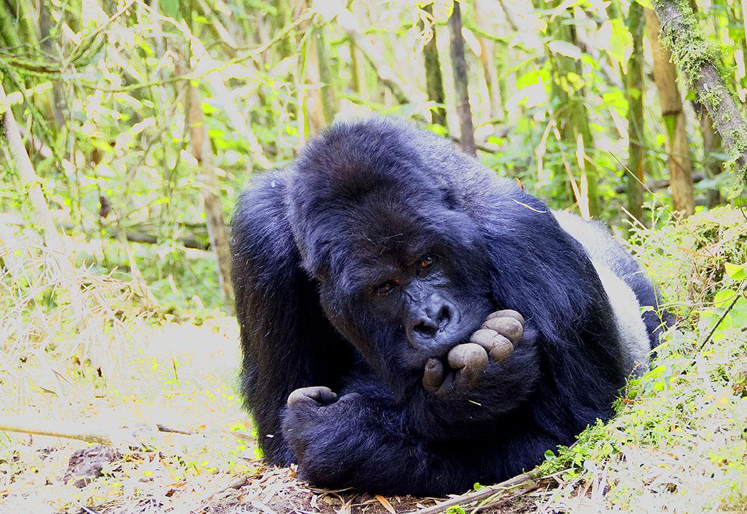 Guhonda - The oldest Silverback Gorilla in Rwanda