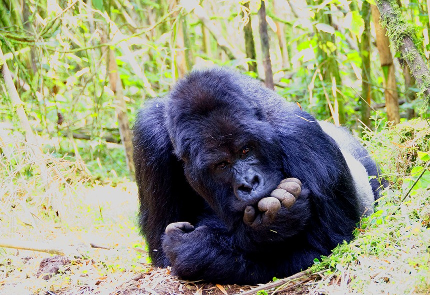 Guhonda - The oldest Silverback Gorilla in Rwanda