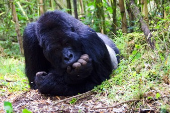 Mountain Gorilla - Sabinyo Group
