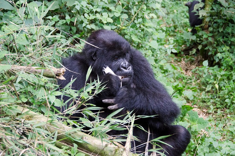 A seated young male silverback gorilla chewing on a bamboo shoot.