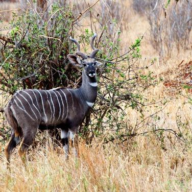 The Lesser Kudu