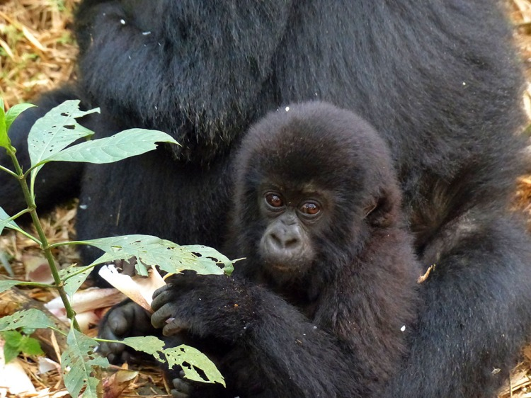 Baby gorilla seated on mother's lap.