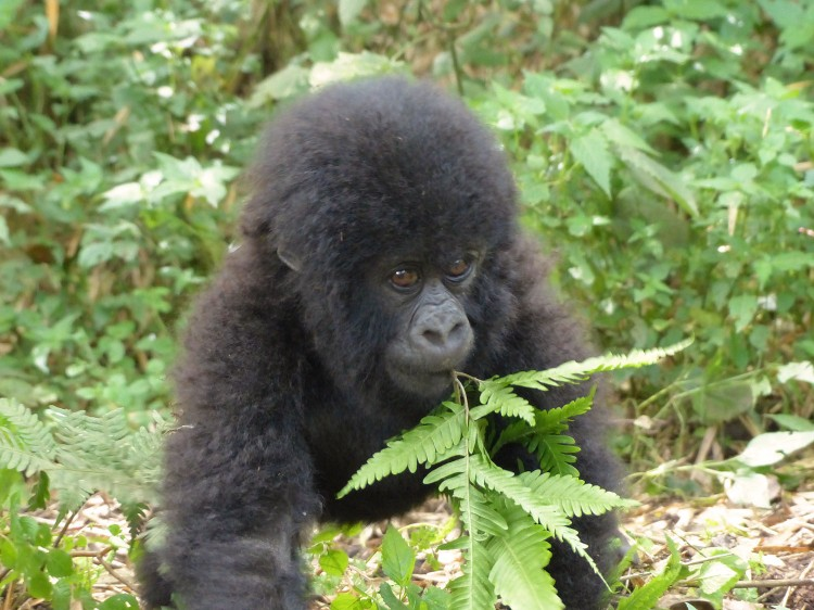A baby gorilla playfully nibbling on a fern