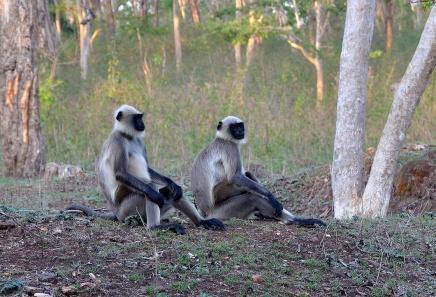 Langurs - Kabini, India