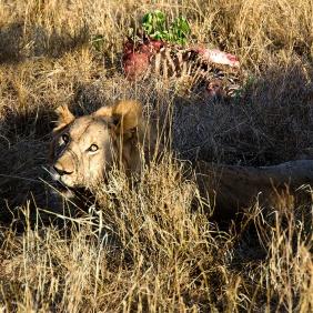 Lion with Kill - Tarangire