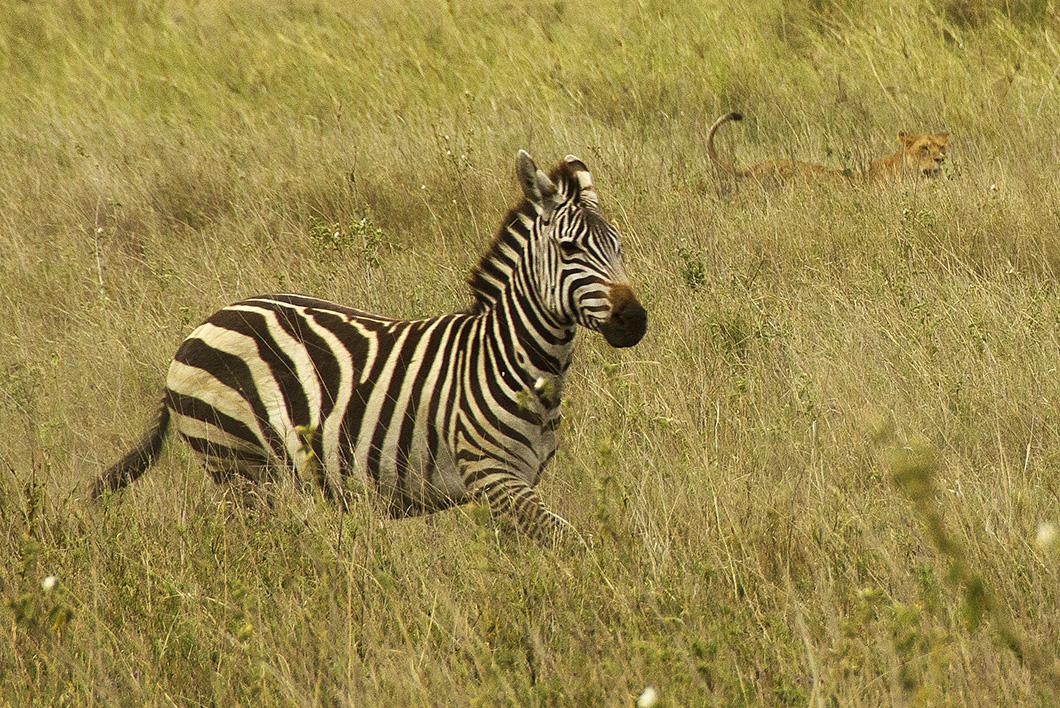 Lioness stalking Zebra - Serengeti National Park