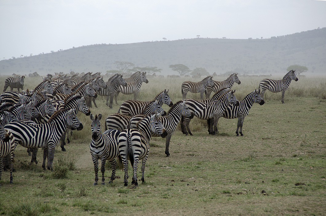 Zebra herd on alert