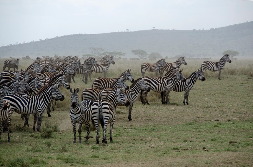 Zebra herd on alert