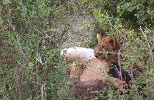 Lion cub with kill - Serengeti