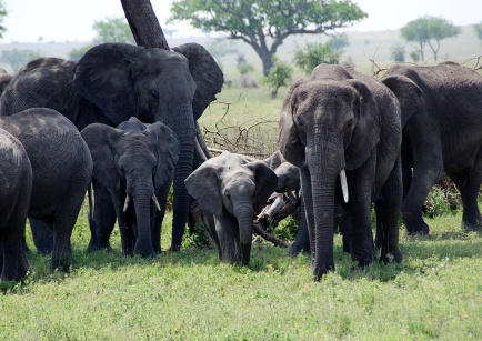 Elephant herd - Serengeti, Tanzania