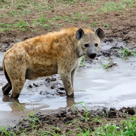 Hyena - Serengeti