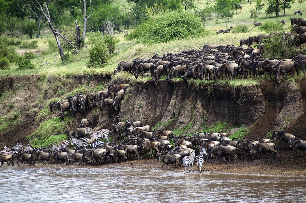 Wildebeest river crossing - Serengeti National Park