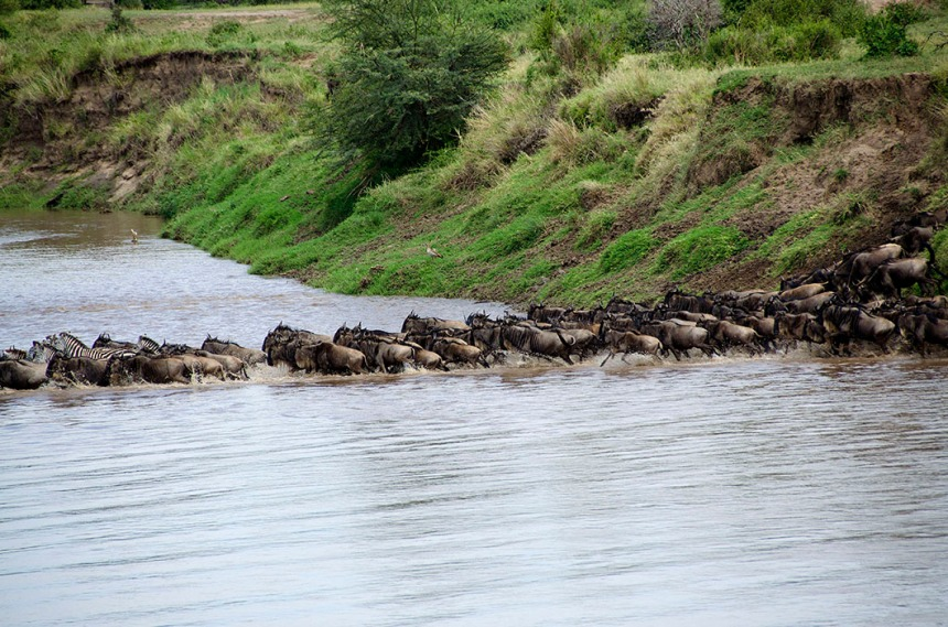 Wildebeest river crossing - Serengeti National Park