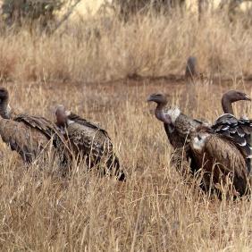 Vultures - Serengeti