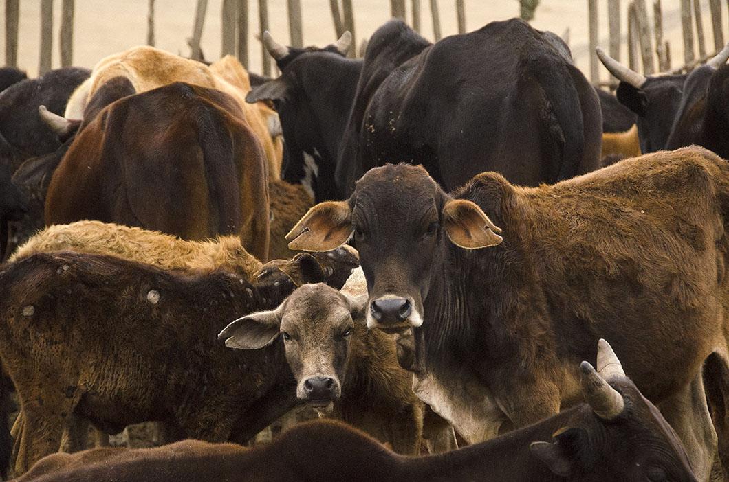 Masai cattle