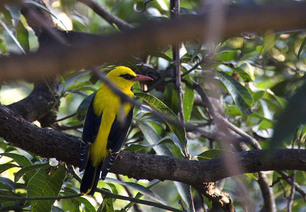 Golden Bird bird on a mango tree