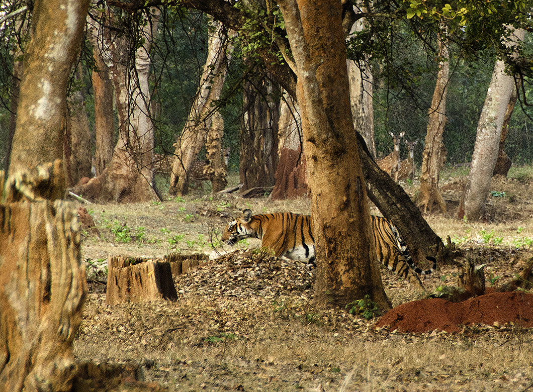 Tiger - Nagarhole Reserve