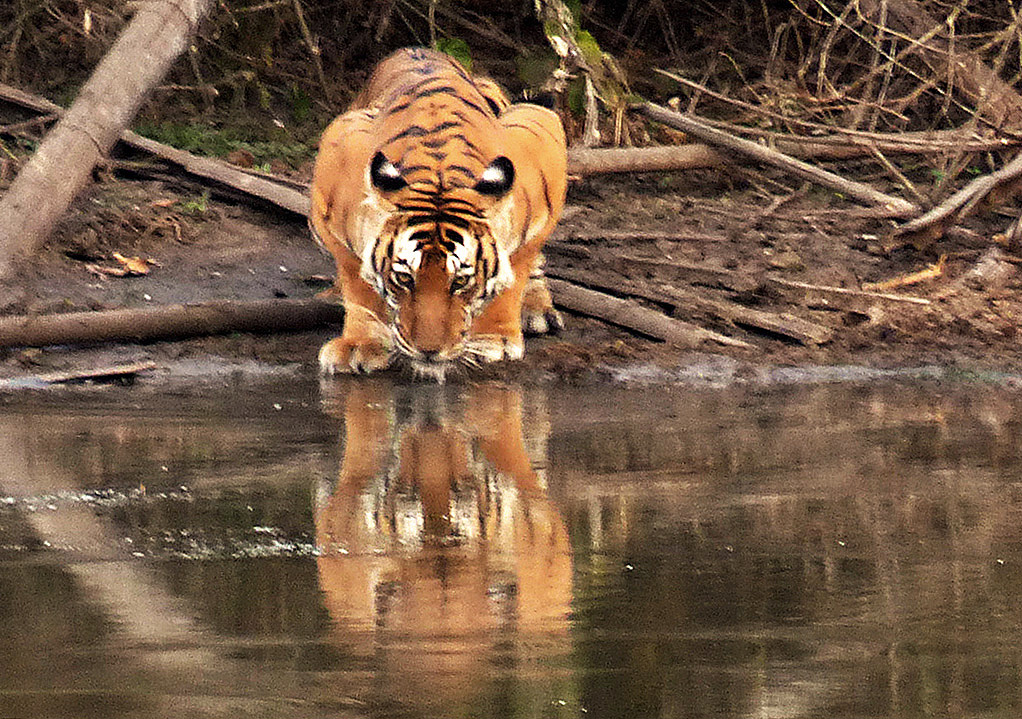 Tiger at waterhole - Nagarhole Reserve