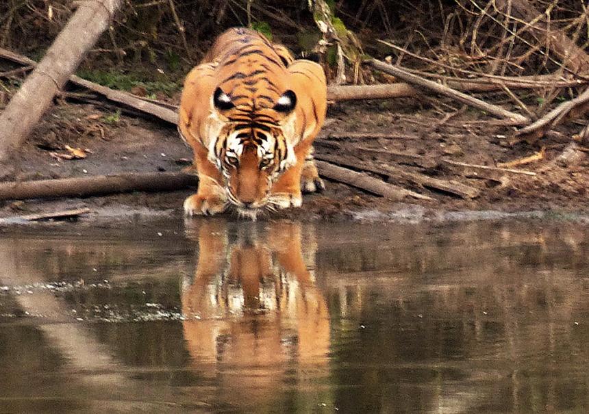 Tiger at waterhole - Nagarhole Reserve
