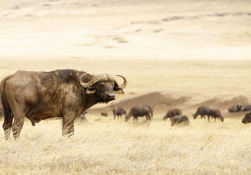Cape Buffalo, Ngorongoro