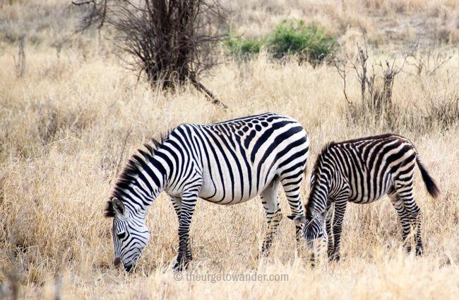 Zebra with spots in Central Serengeti