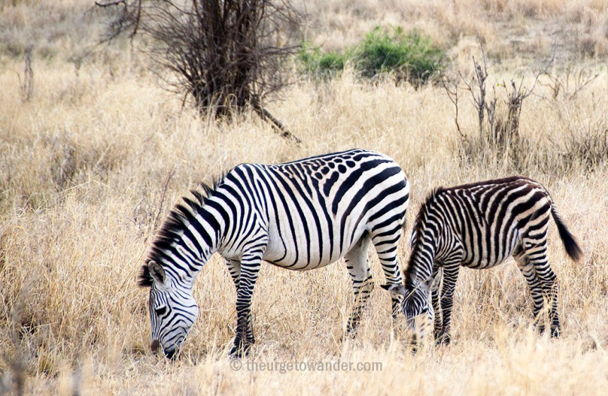Zebra with spots in Central Serengeti