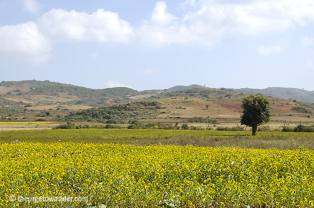 Rapeseed fields enroute to Pindaya from Heho, Shan State