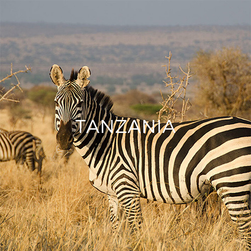 Zebra in Serengeti - Link to Tanzania Guide Page