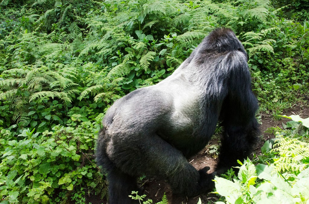 Young silverback on all fours, his back to camera