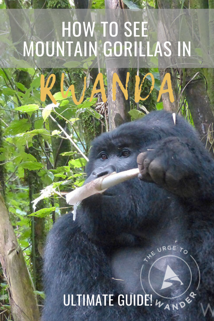 Mountain gorilla munching bamboo shoot - Pinterest Pin