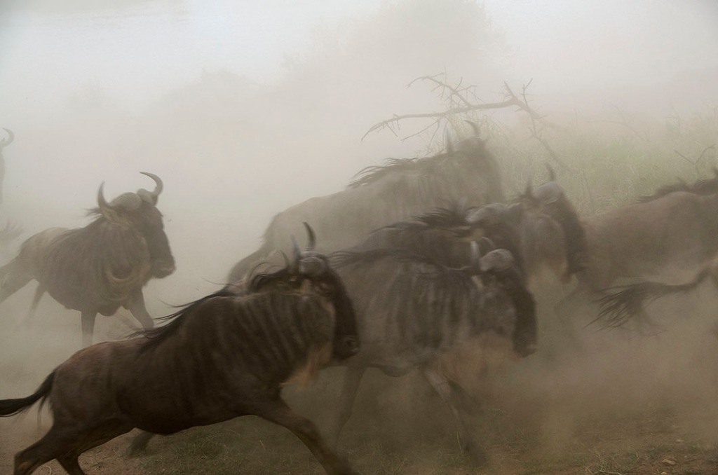 A herd of wildebeest frozen as they thundered past our vehicle!