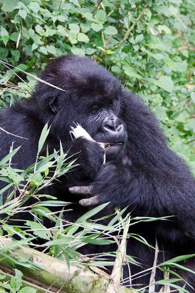 Gorilla chewing bamboo In Rwanda